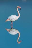 Greater Flamingo (Phoenicopterus ruber). Fuente de Piedra. Málaga. Spain