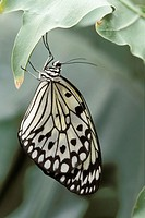White Tree Nymph (Idea leuconoe), captive in garden. Germany