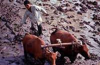 Ploughing rice field with buffaloes, Kusamba, Indonesia