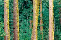 Staghorn lichen (Letharia vulpina) on white fir trees (Abies concolor). Northern California. USA
