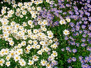 Daisies (Leucanthemum sp.) and Felicia amelloides (thumbnail)