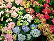 Bigleaf Hydrangeas (Hydrangea macrophylla)