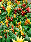 Interior plants from Bromeliaceae family (Vriesea, Guzmania, Aechmea)