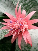 Urn plant (Aechmea fasciata)