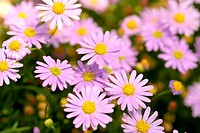 Flowers, daisy, nature