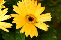 Flowers, daisy, nature (thumbnail)