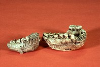 Two specimens of the mandible (lower jaw) of Australopithecus afarensis from Tanzania, Africa.