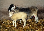 Dolly, the first genetically cloned mammal, as a lamb with surrogate mother.