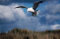 Flying gull (Larus sp.)