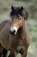 Horse (Equus caballus). Texel, Netherlands