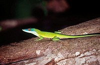 Blue-headed Anole lizard on tree. Roatán, Honduras