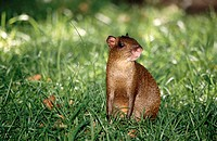 Agouti in the grass. Roatán, Honduras