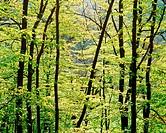 Beech forest (Fagus sylvatica). Skåne. Sweden. Scandinavia