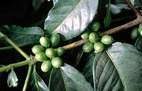 Coffee plant