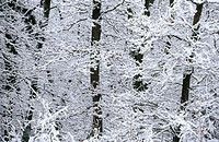Snow-covered branches. Germany