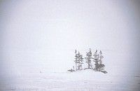 Trees in snow. Churchill. Manitoba, Canada