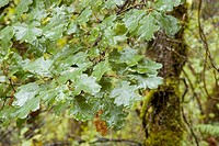 Garry Oak (Quercus garryana) branches and leaves in Horth Hill Regional Park. North Saanich, British Columbia. Canada