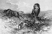 Lion and buffalo, engraving from 'Le tour du monde'