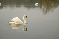 Mute Swans (Cygnus olor) on Carlingwark Loch near Castle Douglas. Galloway, Scotland
