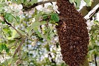 Bienenschwarm am Apfelbaum