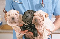VETERINARIAN<BR>Photo essay.<BR>Shar-pei dogs.