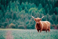 Scottish Highland cattle on field. Bjurliden, Västerbotten, Sweden