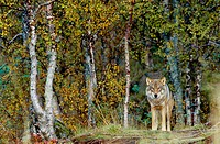 Wolf (Canis lupus) in captivity. Norway