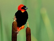 Red Bishop (Euplectes orix). KwaZulu-Natal, South Africa