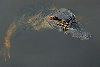 Caiman or jacare, Caiman crocodilus yacare, floating on water surface, southern Pantanal, Mato Grosso do Sul, Brazil
