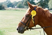 Close up shot of a horse's head displaying a competition ribbon (thumbnail)