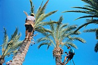 Pruning palm trees once a year. Alicante. Spain