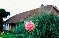 Pink rose in cottage garden (thumbnail)