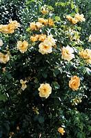 Rose (Rosa ´Maigold´).