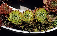 Houseleek rosettes (Sempervivum sp.) in a container.