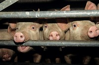 Pigs (Sus scrofa domestica) looking through the bars of a pen at Taunton market, Somerset, UK.