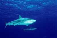 Caribbean reef sharks (Carcharhinus perezi). This shark inhabits the tropical waters of the Caribbean Sea. It can reach a length of over 3.5 metres. I...
