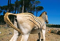 Quagga-like zebra. Hindquarters of a quagga-like zebra (Equus sp.). Quaggas (Equus quagga) are a subspecies of zebra that became extinct in 1883 due t...