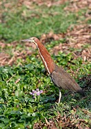 Tiger Heron (Tigrisoma lineatum). Venezuela