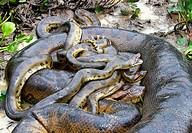 Yellow Anaconda (Eunectes notaeus). Venezuela