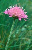knautia arvensis flower, alzano lombardo, italy