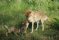 Coyote (Canis latrans) with pups.