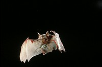 Hildebrandt´s Horseshoe Bat (Rhinolophus hildebrandti) in flight with cicada.