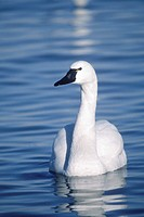 Tundra Swan, aka Whistling Swan (Cygnus columbianus). Adult on the Choptank River. Thousands of swans winter in the Chesapeake Bay region, Dorchester ...