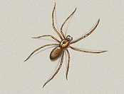 The brown recluse spider (Loxosceles reclusa) is a venomous arachnid bearing a dark fiddle shaped mark on the prosoma (thorax). It is also known as th...