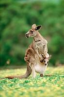 Eastern grey kangaroo (Macropus giganteus). Victoria. Australia.
