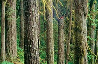 Old growth forest along the Salmon River. Mount Hood National Forest, Cascade Mountain Range. Oregon. USA
