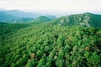 Pine forest. Altas Cimas Reserve. Sierra Madre. Tamaulipas. Mexico.
