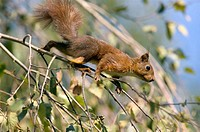 Red squirrel (Scirus vulgaris)