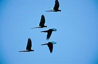Military macaws (Ara militaris). Tamaulipas. Mexico.