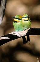 Rainbow bee-eater (Merops ornatus) in captivity. Australia